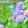 紫陽花の毒って実はとっても危険!紫陽花中毒の症状と対処法まとめ