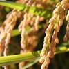 秋花粉症の症状・原因・対策は?ブタクサなどの雑草に注意!